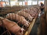 Giá thịt lợn rẻ kỷ lục: 1 kg thịt không bằng 1 cân khoai