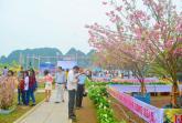 Lễ hội hoa Anh đào - Mai vàng Yên Tử diễn ra trong 4 ngày