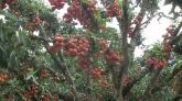 Đã mắt ngắm vườn vải vào mùa sai trĩu quả