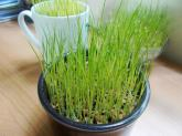 Bỏ túi cách trồng lúa cảnh siêu đẹp đón Tết