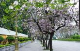 Ngắm hoa ban Tây Bắc nở rộ giữa Hà Nội