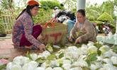 """500 đồng/kg ổi lê Đài Loan, nhà vườn """"khóc đứng khóc ngồi"""""""