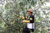 Ở nơi heo hút, trai trẻ vẫn sống khỏe nhờ trồng táo mèo