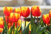 Triệu bông tulip bung nở trên đỉnh Bà Nà tết này
