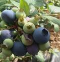 Về quê trồng quả quý tộc vừa ăn vừa bán, đút túi vài trăm triệu/năm