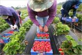 Bimbim chứa nhôm, dâu tây Trung Quốc gây ngộ độc