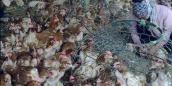 Lại phát hiện 1,3 tấn gà thải loại của Trung Quốc