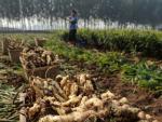 Trung Quốc: Bảo quản gừng bằng chất cực độc