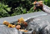 Hà Nội: Bắt vụ vận chuyển 1 tấn tóp mỡ, bì lợn thối