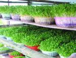 Thuốc kích thích khiến rau mầm cao 2cm trong 4 tiếng