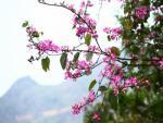 Hoa xuân rực rỡ đất trời Hà Giang