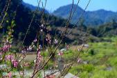 Xuân muộn rực rỡ trên cao nguyên Mộc Châu
