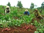 Thương lái Trung Quốc chỉ lừa nông dân Việt Nam