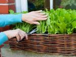 Gợi ý trồng rau an toàn cho nhà của bạn