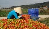 Cà chua mất giá chỉ còn 1.000 đồng/kg