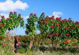 Chạy xe ngắm cảnh Mộc Châu mùa hoa cải