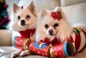Cô gái dành 70 triệu mua quà Giáng sinh cho chó