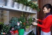 Cây Noel mini, có mùi thơm được chuộng trong mùa Giáng sinh