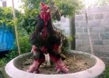 Gà đẹp nhất làng Đông Tảo: Đấu giá 5 triệu đồng/kg không bán