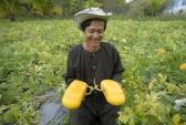 Những nông dân vàng miền Tây: Người bắt dưa hấu ra quả 'độc'