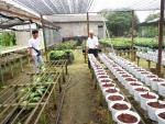 Làm giàu nhờ đưa hoa lily về trồng trong chậu ở xứ nóng