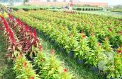 Sài Gòn: Hoa kiểng, hoa khô chưng Tết rộn ràng vào mùa