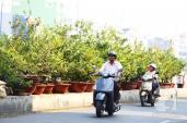Sài Gòn: Mai Tết bắt đầu nhộn nhịp mua bán, hoa đẹp, giá bình dân