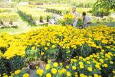 Hết Tết, nhiều người trồng hoa miền Tây trắng tay