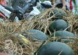 Phong trào mua dưa hấu Quảng Nam tiếp tục lan đến Thanh Hóa