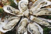 Nông dân bất chấp lệnh cấm ăn hàu sống