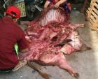 Thâm nhập lò mổ biến thịt lợn chết thối thành tươi ngon