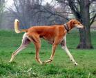 Những giống chó đắt nhất hành tinh