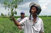 Nông dân khóc ròng vì trồng ớt không trái
