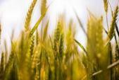 Nguy cơ mắc bệnh đường ruột vì protein trong lúa mì