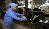 Love' in Farm và câu chuyện làm nên sản phẩm sữa tiêu chuẩn