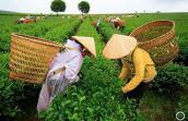 Tin đồn trà nhiễm dioxin và âm mưu ép bán giá cao