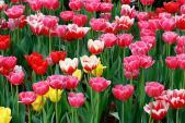 Đón Tết Ất Mùi 2015 với chậu hoa tulip tự trồng