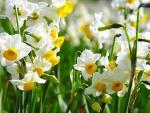 Cách trồng và chăm sóc hoa thủy tiên trong chậu