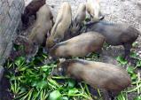 Sang Mỹ săn ngô ăn vặt, về quê lùng lợn đón Tết