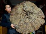 Phiến nấm linh chi khổng lồ với đường kính 107 cm