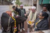 Ấn Độ: Giải khát bằng nước tiểu của bò