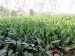 Về làng trồng lá dong lớn nhất Hà Nội