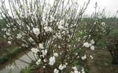 Hoa đào trắng tinh khiết sẽ xuất hiện tại chợ hoa Thủ...
