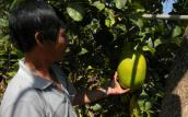 Đà Lạt: Chanh khổng lồ ngọt thơm nặng tới 7kg