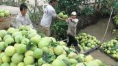Giá bưởi da xanh ở Tiền Giang tăng mạnh, nhà vườn lãi cao