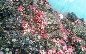 """Sau 8.3, hàng tấn hoa hồng thành """"núi"""" rác"""