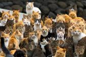 Kỳ lạ hòn đảo mèo ở Nhật Bản