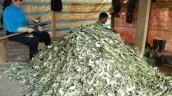 Giá atiso giảm mạnh, nông dân thu hẹp diện tích trồng