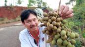 Đắk Nông: Xuất hiện thương lái thu mua quả mây rừng giá cao