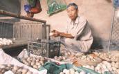 Hơn 20 vạn trứng vịt thối bất thường nghi do thức ăn chăn nuôi TQ